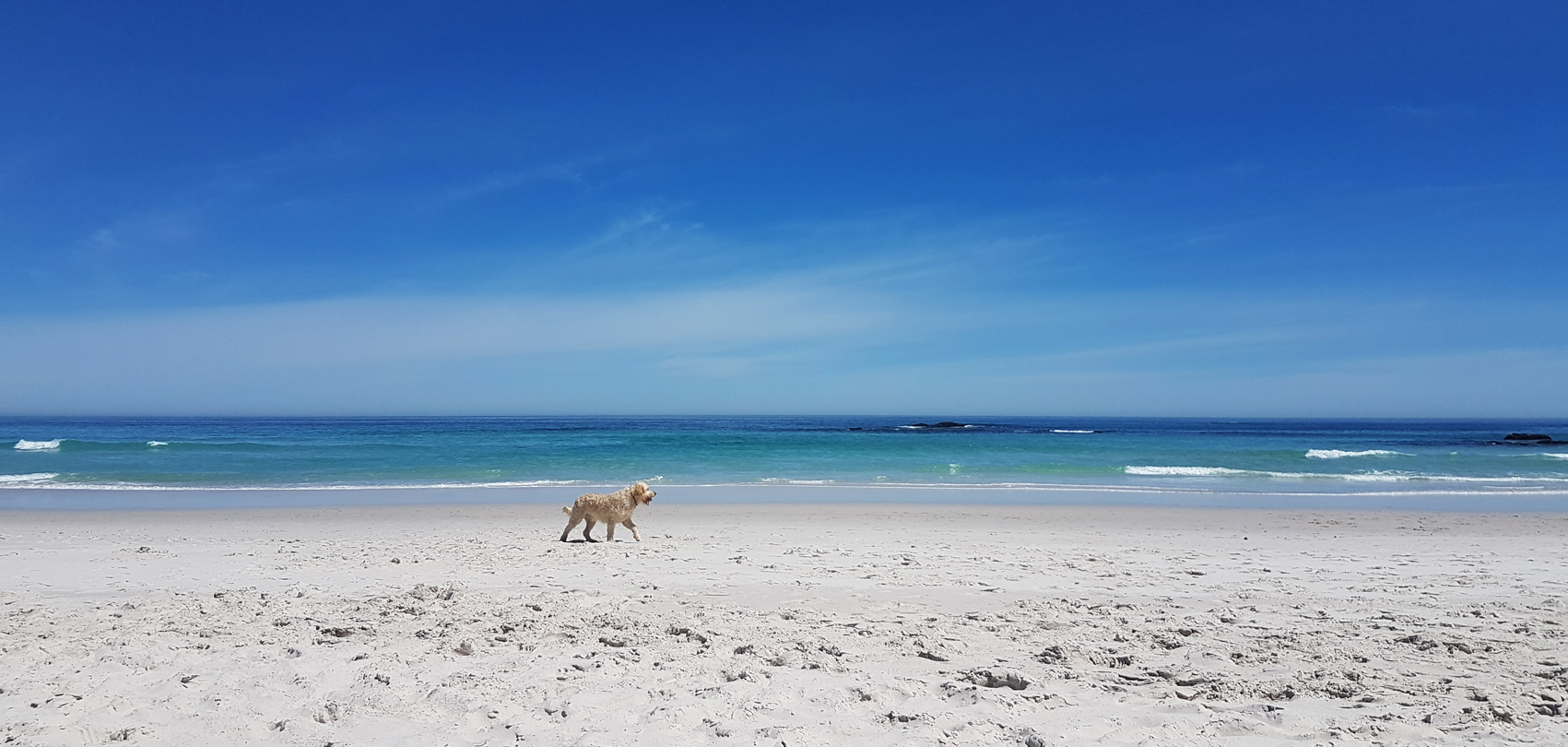 Dog taking a walk on Nordhoek Beach