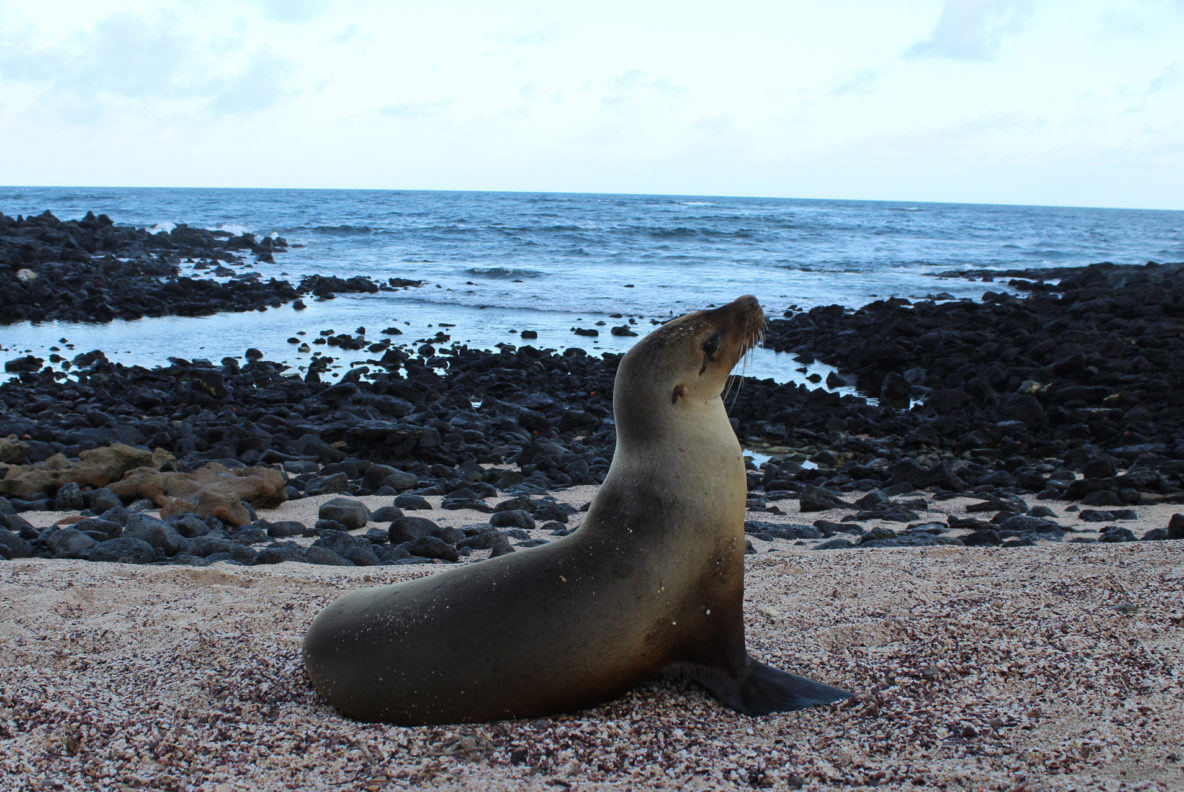 Sea lion at the beach in Santa Cruz, Galapagos Islands